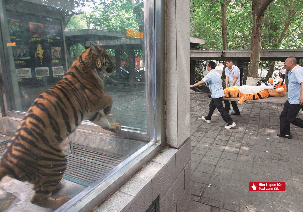 """Chengdu Zoo rehearses escaped ""tiger"" response"", stern 24/2011  June 2nd, Sichuan Chengdu Zoo, a tranquilized ""tiger"" being carried away by workers, as a caged Chinese tiger watches through the glass. That day, the Chengdu Zoo conducted a escaped dangerous animal training drill/exercise. The training exercise simulated 2 Siberian Tigers escaping from their cages, with zoo workers working together with forestry police conducting an emergency response. Photo: Picture Alliance/DPA"